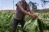 Thumb_cuba-vinales-harvesting-tobacco
