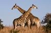 Thumb_giraffe