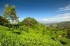 Thumb_tea_plantation__haputale__sri_lanka