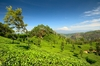 Thumb_tea_plantation__haputale__sri_lanka