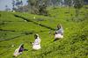 Thumb_srilanka_teaharvest